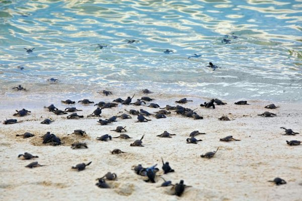 Tortugas-bombay