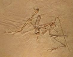 Archaeopteryx bavarica.