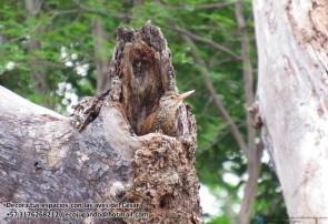 Trepatroncos piquirrecto (Dendroplex picus). Foto: Jose Luis Ropero