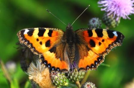 Картинки по запросу Бабочка Крапивница