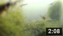 June 25, , 2014 - ShrimpFest II in the Malibu Lagoon Aquarium.  Watch Oriental Shrimp as they prance through the algae. Recorded on June 25th, 2014.  NOTE: Click on image to see video.