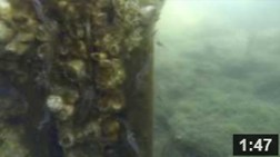 "September 30, 2013 ""Shrimpfest"" In The Malibu Lagoon Aquarium.  Shrimpfest in Malibu Lagoon. Dozens of oriental shrimp dance around a barnacle covered pole in the former dead zone of the newly restored Malibu Lagoon.  NOTE: Click on image to see video."