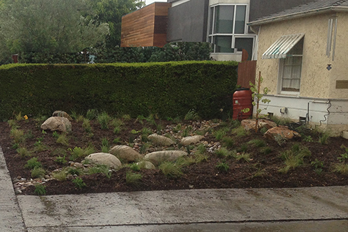 Front lawn replaced with rain garden which conserves and cleans water - 2016.