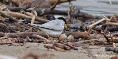 Least Tern and Snowy Plovers -  Hartmut Walter is a photographer with an eye for birds.  Recently he visited the lagoon beach berm and spotted a Least Tern watching over its eggs and a mother Snowy Plover out with its chick.