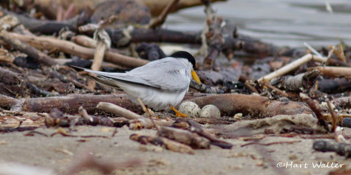 Least tern and her two eggs