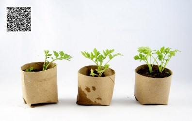 Germinando semillas en rollos de papel higiénico
