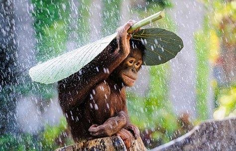 Orangutam