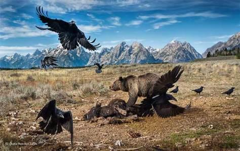 oso-cuervos