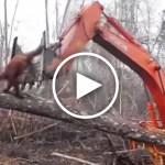 Orangután lucha contra una excavadora que destruye su hábitat