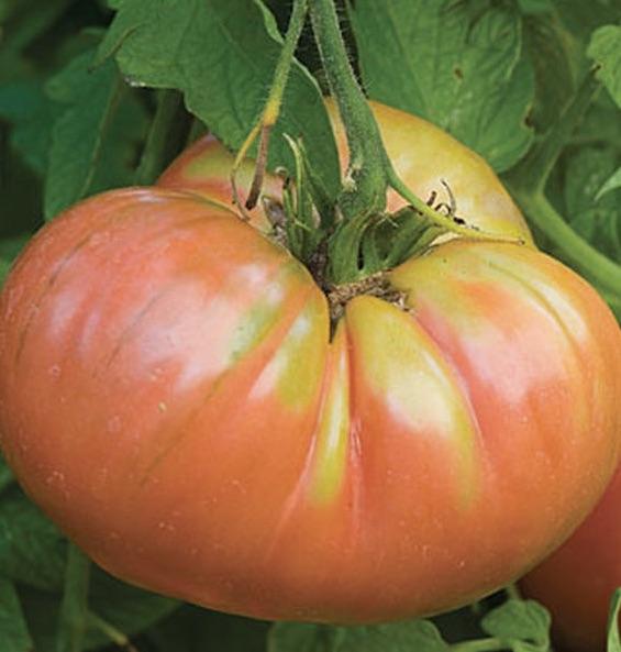 breeding a tasty tomato