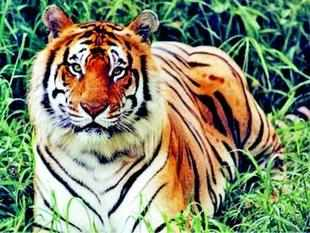 Need corridor so tigers don't fight to death
