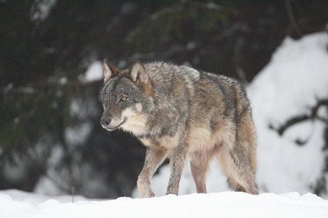 Le loup en Estonie