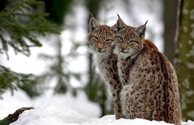 Le lynx d'Eurasie, un félin sauvage fascinant