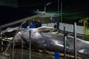 Capture d'une baleine en Islande Source : Bara Kristinsdottir