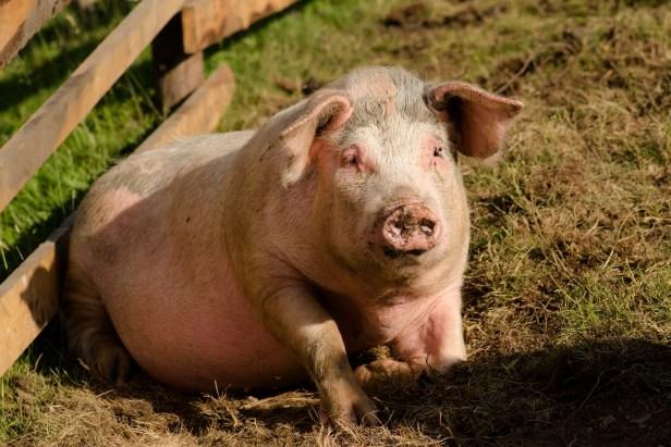 La peste porcine africaine a déjà causé de gros dégâts dans le sud-est de la Roumanie