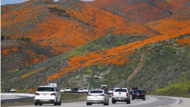 """Une ville du sud de la Californie a été contrainte d'interdire temporairement aux touristes de se rendre dans une """"super floraison"""" de pavot d'or"""