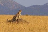 Serengeti Gepard 4 © Win Schumacher Weltwege