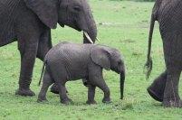Serengeti Elefant 2 © Win Schumacher Weltwege