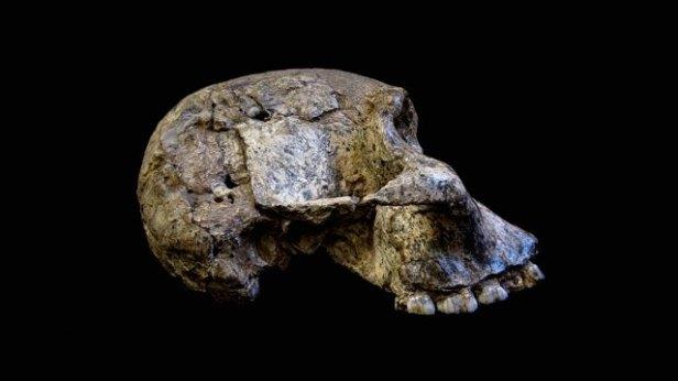 Vormenschen/ Stillen/ Australopithecus