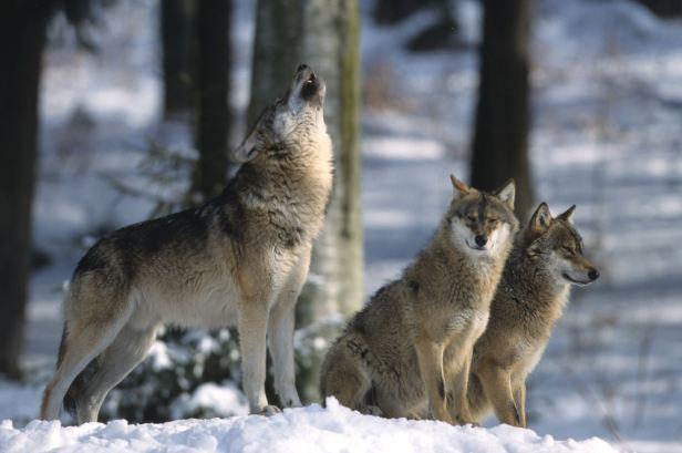 roland-clerc-loups