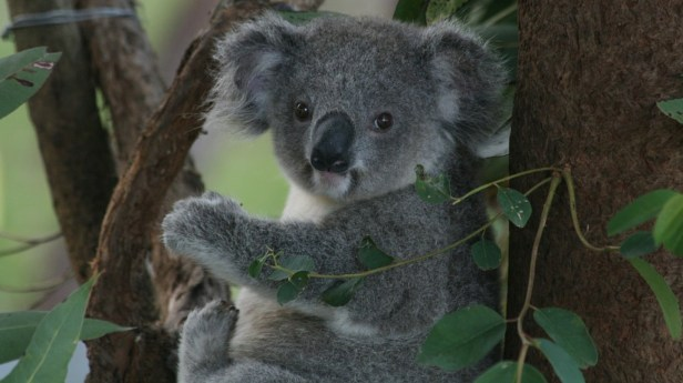 koala-recuperating-at-the-koala-hospital-in-port-macquarie--spalti-flickr