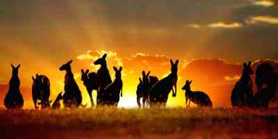 Kangourou-Australie