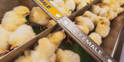 Allemagne: le broyage des poussins mâles interdit dès 2022