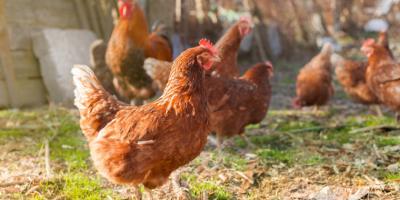 Grippe aviaire en Hongrie: abattage de plus de 100.000 volailles supplémentaires