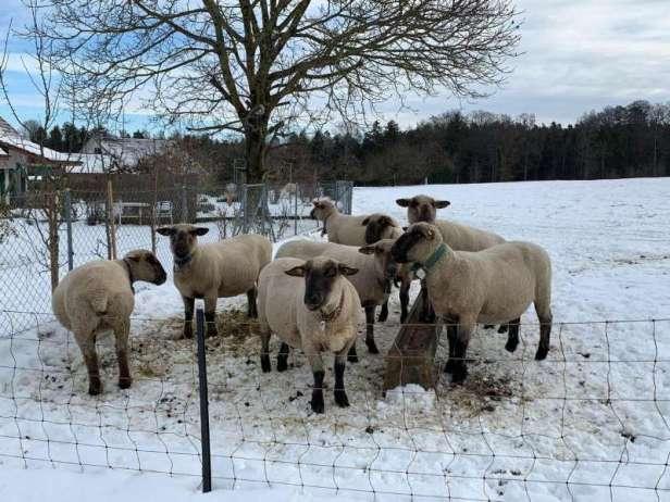 Son chien tue des moutons: condamné pour cruauté animale