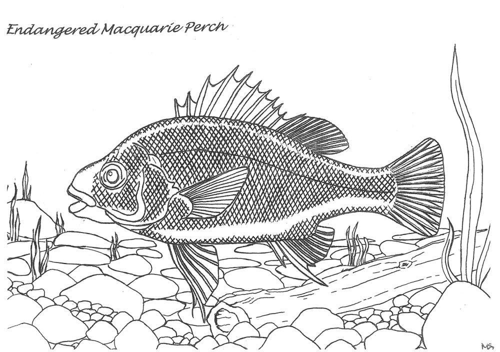 medium resolution of line diagram macquarie perch maree smzalko