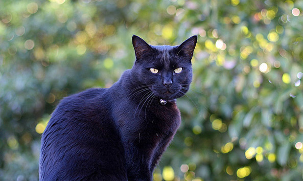 Image result for tommaso cat