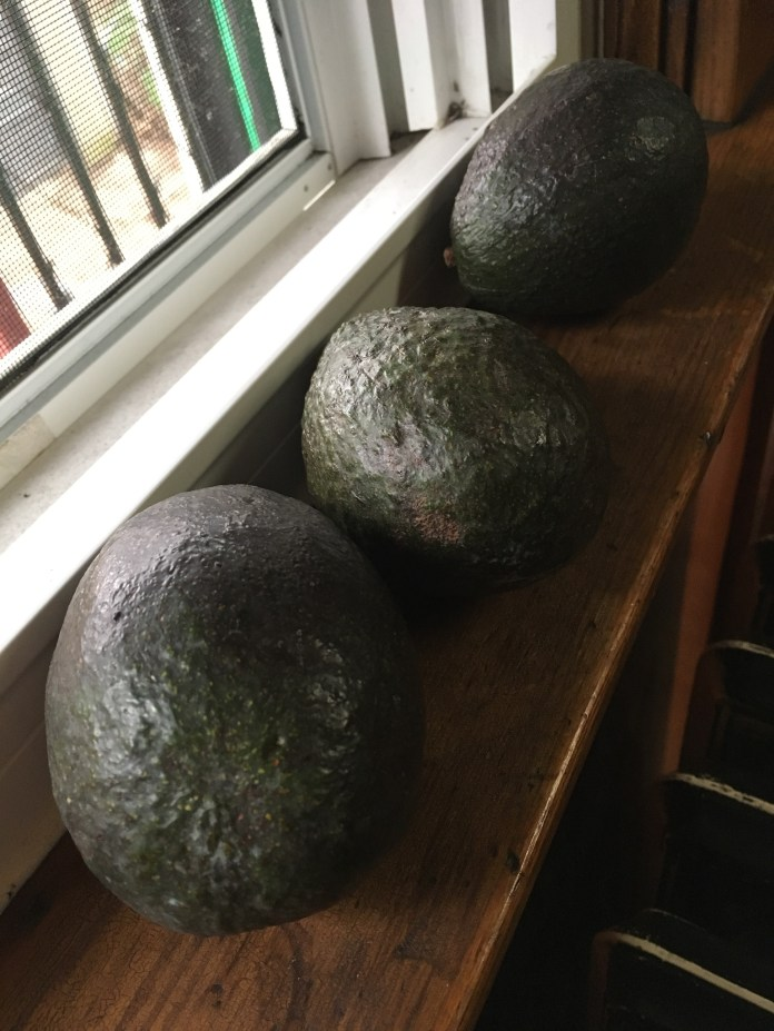 avocado ripening on the window sill