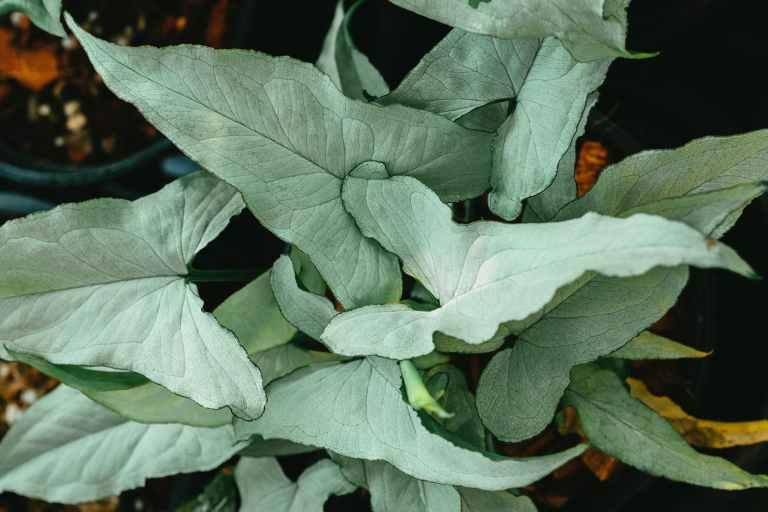 syngonium plant benefits – A Excellent Plant
