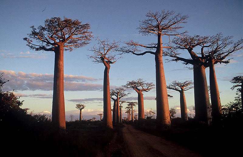 Stand of trees will tall, thick and straight trunks along a road