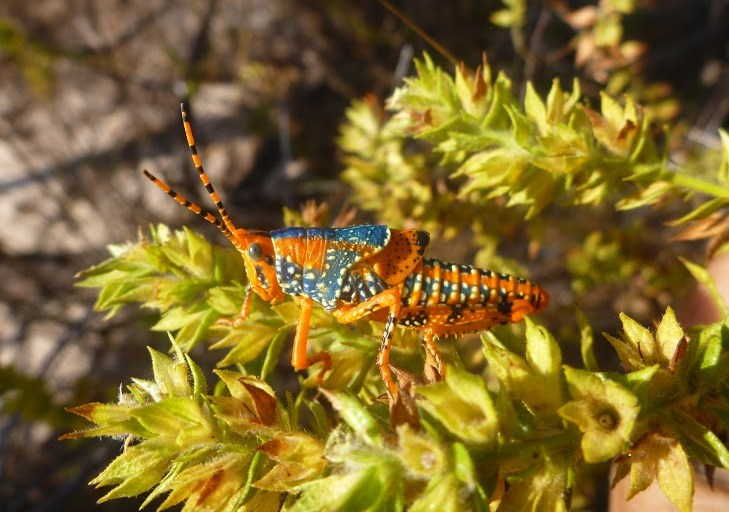 An orange and blue coloured insect on a branch with small green leaves