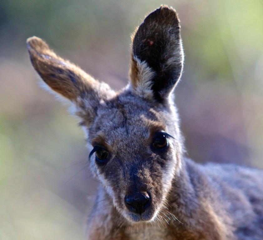 A close up of the head of a wallaby