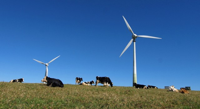 Cows laying down in front of wind turbines