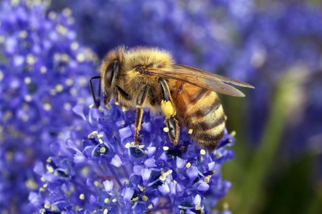 A honey bee on a purple flower