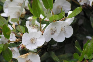 close up of white leatherwood flower against green folage.