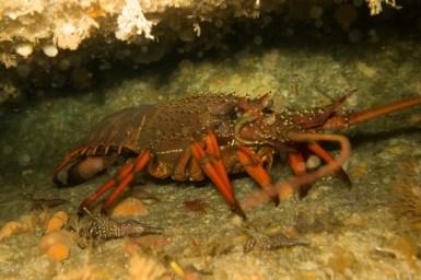 Eastern rock lobster
