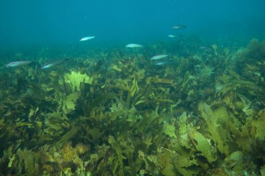 Small fish swimming over kelp beds