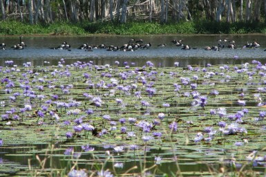 waterlilies and birds in wetlands