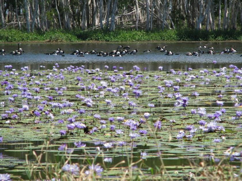 waterlilies and birds in wetlands