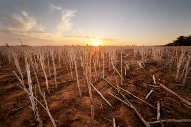 wheat stubble at sunset