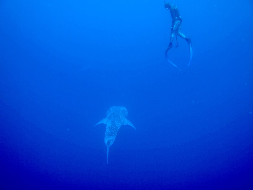 diver looking down through blue waters at whale shark
