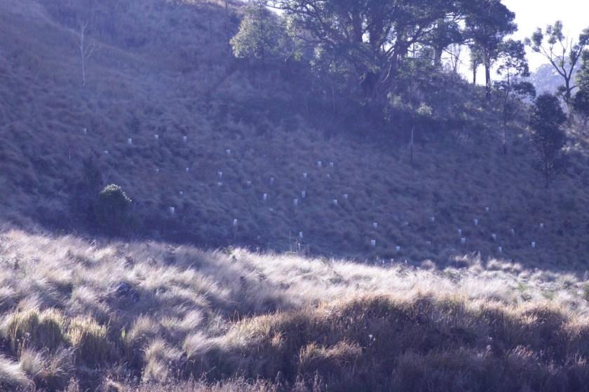 tubestock plantings on a hill side in dusky light