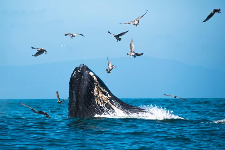 whale breaching the surface with flock of birds overhead