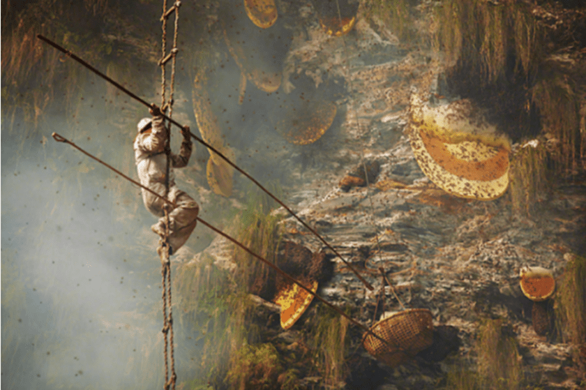 a man on a rope ladder at a cliff face using long bamboo sticks to kmock honey combs into a basket