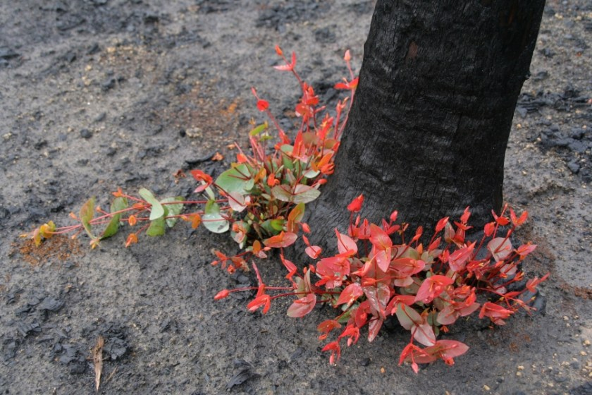 A charred black tree with signs of regrowth at the base. The regrowth looks red and green.
