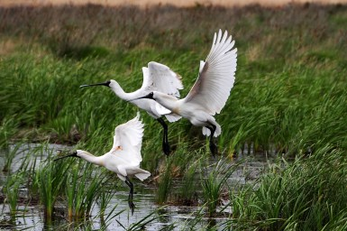 Three white birds taking flight from a wetland.